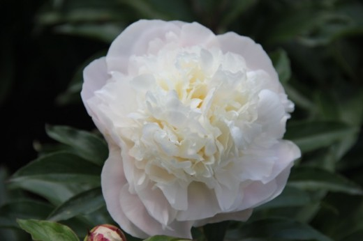 Camellia White- smells great
